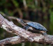 Selva Lodge Ecuador - Schildkröte Amazonas