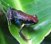 Selva Lodge Ecuador - Frosch Amazonas