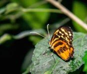 Selva Lodge Ecuador - Schmetterling Amazonas