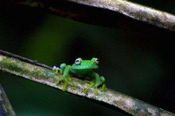 Amazonas Ecuadors - Frosch