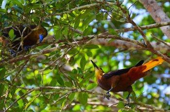 Amazonas Ecuadors - Vogelbeobachtung