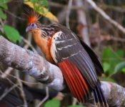 Selva Lodge Ecuador - Hoatzin Amazonas