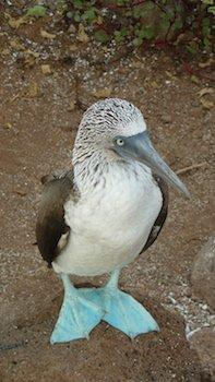 Walking Galapagos - Blaufusstölpel