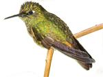 Ecuador Galapagos Reisen - Kolibri im Nebelwald