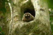 acha Lodge - Amazonas Tierwelt