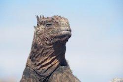 Galapagos Reisen - Leguan