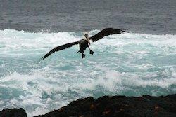 Galapagos Reisen - Pelikan