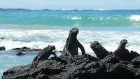 Galapagos Reisen - Iguanas auf Isabela