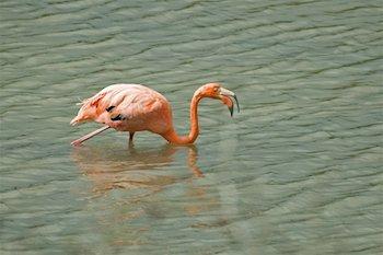Falmingo auf Galapagos