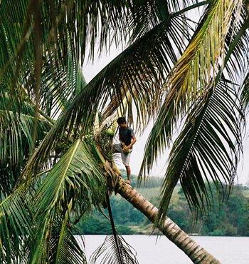 Junge am Kokosnuss pflücken Ecuador