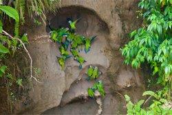 Papageien Lehmlecke Nationalpark Yasuni - Selva Lodge