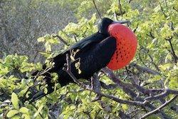 Galapagos Reisen - Fregattvogel