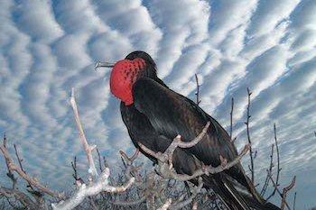 Fregattvogel Galapagos