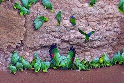 Papageienlecke - Napo Wildlife Center