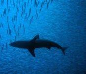 Tauchen auf Galapagos - Hai