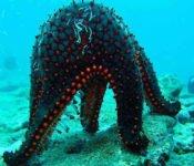 Tauchen auf Galapagos - Seestern