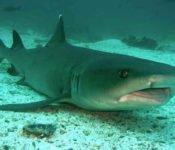Tauchen auf Galapagos - Weisspitzenriffhai