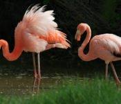 Walking Galapagos Reise - Insel Isabela Flamingos