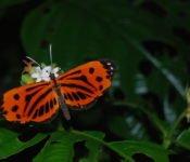 Cattleya Journey - Schmetterling