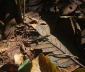 Cattleya Journey -Tierwelt Amazonas