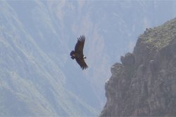 Kondor Im Colca Canyon - Peru Rundreise