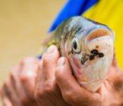Cattleya Journey - Piranha