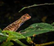 Cattleya Journey - Frosch Amazonas