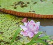 Cattleya Journey - Seerose Amazonas