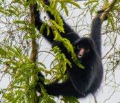 Cattleya Journey - Affe Amazonas