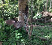Tapir in einer Tierrettungsstation