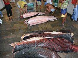 Riesenfischmarkt Belém