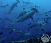 Tauchkreuzfahrt Yacht Galapagos Aggressor III - Hammerhaie