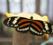 Mashpi Lodge - Schmetterlinge Nebelwald Ecuador