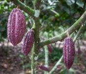 Tren Crucero - Zugreise durch Ecuador - Kakao