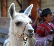 Tren Crucero - Zugreise durch Ecuador - Lama
