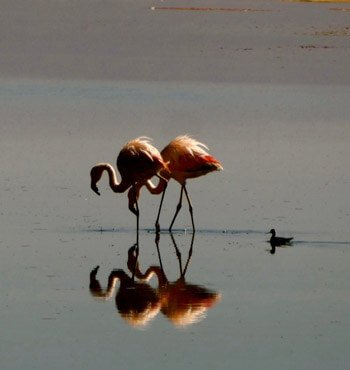 Chile Rundreisen - Flamingos