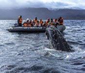Australis Kreuzfahrten - Walbegegnung mit dem Zodiak