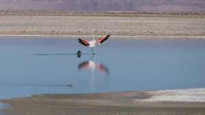 Lago Chaxa - Salar de Atacama