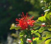 Australis Kreuzfahrten - Flora