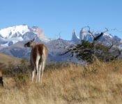 Torres del Paine - Guanacos