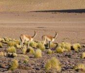 Guanacos - Atacama Wüste