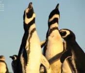 Australis Kreuzfahrten - Magellan Pinguine