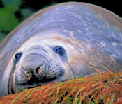 Australis Kreuzfahrten - Seelöwe