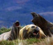 Australis Kreuzfahrten - Seelöwen
