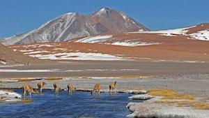Rundreisen Chile - Guanacos in der Atacama Wüste