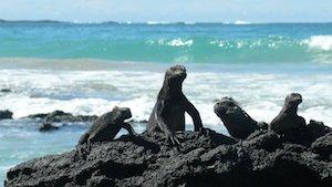 Galapagos Kreuzfahrten - Iguanas