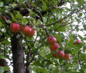 Futaleufú - Apfelbaum