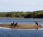 Unterwegs nach Chonchi - Pferde auf einer Insel