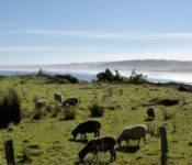 Schafe am Pazifik