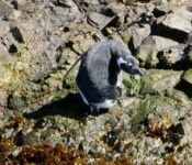 Magellan-Pinguin in Puñihuil
